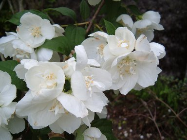 fleur_virginalis.JPG